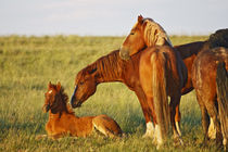 Feral Horse adult smelling colt in the high,country east of Cody, Wyoming von Danita Delimont