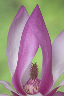 USA, Washington. Close-up of magnolia blossom. Credit as von Danita Delimont