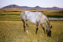 Appaloosa Indian horse graze on grasslands in Montana von Danita Delimont