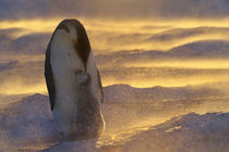Emperor penguin with chick in blizzard, Weddell Sea by Danita Delimont