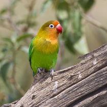 Tanzania, Fischer's Lovebird at Ndutu in the Ngorongoro Conservation Area von Danita Delimont