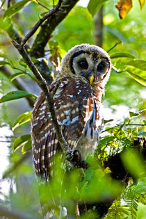 A fledgling barred owl is perched in a bald cypress tree von Danita Delimont
