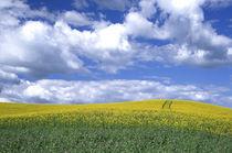 N.A., USA, Washington, Whitman County.  Canola fields in the Palouse. by Danita Delimont