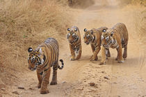 Royal Bengal Tigers on the track, Ranthambhor National Park, India. by Danita Delimont