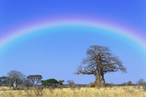 Rainbow and African baobab tree, Adansonia digitata, Tarangire National Park by Danita Delimont