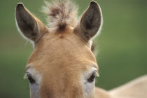 Takhi face, Equus caballus przewalskii, Hustain Nuruu National Park, Mongolia by Danita Delimont