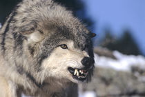Snarling Gray or Timber Wolf(Canis Lupus), Captive.