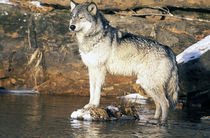 North America, USA, Minnesota. Wolf (Canis lupus) by Danita Delimont