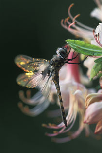 USA,Georgia,Close-up of dragonfly Backlit on Azalea. Credit as by Danita Delimont