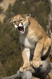 Puma or mountain lion, puma concolor, Captive - game farm model by Danita Delimont