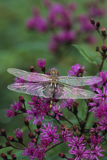 Dragonfly on Joe-Pye weed. Credit as von Danita Delimont