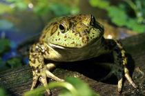 Bull frog. by Danita Delimont