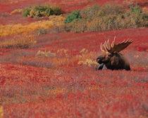 N.A., USA, Alaska, Denali Nat'l Park Bull Moose - Alces alces