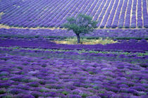 Europe, France, Provence. Lavander fields von Danita Delimont