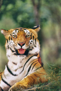 Bengal tiger, Panthera tigris tigris, Western Ghats, India by Danita Delimont