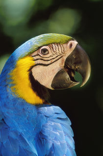 Blue-and-yellow macaw, Ara ararauna, Tambopata National Reserve, Peru by Danita Delimont