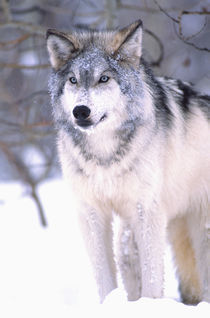 Timber Wolf Canis Lupus Movie Animal (Utah) by Danita Delimont