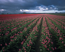 Bright pink and red tulips glow in the Skagit Valley of Washington von Danita Delimont