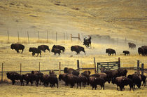 National Bison Range Roundup in Montana von Danita Delimont
