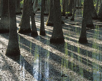 USA, Missouri, Mark Twain National Forest, Water Tupelo trees von Danita Delimont