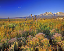 Foxtail Barley and stitch fencing Sawtooth Mountains near Stanley Idaho by Danita Delimont