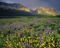 Prairie wildflowers, National Park in Montana by Danita Delimont