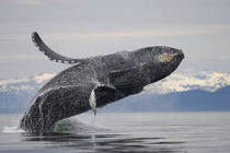 Breaching Humpback Whale, Alaska,Tongass National Fores by Danita Delimont