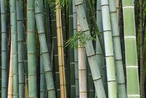 Asia, Japan, Kyoto, Arashiyama, Sagano, Bamboo Forest von Danita Delimont