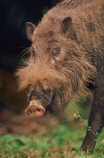 Bearded pig, Sus barbatus, Bako National Park, Borneo von Danita Delimont