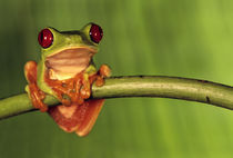 Red-eyed tree frog, Agalychnis callidryas, Barro Colorado Island, Panama by Danita Delimont
