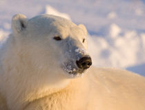 Canada, Manitoba, Hudson Bay, Churchill. Close-up of polar bear. Credit as by Danita Delimont