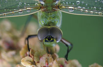 Canada, Ontario, close-up of Green Darner on flower.   Credit as von Danita Delimont