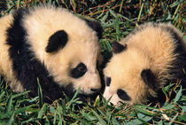Two panda cubs in the bamboo bush, Wolong, Sichuan, China