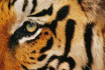 Bengal tiger, Panthera tigris tigris, India von Danita Delimont