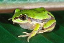 Masked Treefrog Smilisca baudini  Native to Mexico, Central America by Danita Delimont