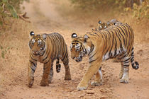 Royal Bengal Tigers on the move, Ranthambhor National Park, India. von Danita Delimont