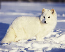 USA, Alaska. Arctic fox in winter coat. Credit as von Danita Delimont