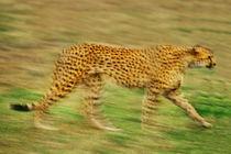 Cheetah in motion, Acinonyx jubatus, Masai Mara Reserve, Kenya von Danita Delimont
