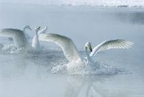 Asia, Japan, Hokkaido, Akan NP, Kusharo Lake, Whopper Swan (Cygnus cygnus) by Danita Delimont