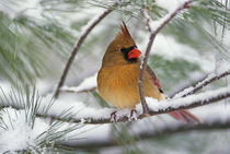 Female Northern Cardinal in snowy pine tree   von Danita Delimont