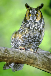 USA, Colorado. Portrait of long-eared owl perched on limb (wildlife rescue) von Danita Delimont