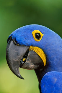 Hyacinth macaw, Anodorhynchus hyacinthinus, Pantanal, Brazil von Danita Delimont