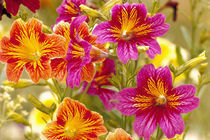 NA,USA,WA,KingCounty,Seattle,Salpiglossis-Painted Tongue von Danita Delimont