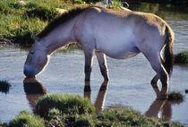 Takhi drinking water, Hustain Nuruu National Park von Danita Delimont