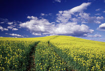 Yellow canola in Whitman County Washington state von Danita Delimont