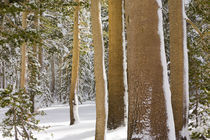 Grove of mature and tall Sierra Lodgepole pines (Pinus contorta) in first snow von Danita Delimont