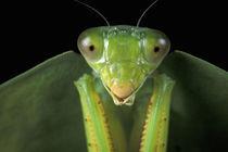 CA, Panama, Barro Colorado Island Praying mantis (Mantidae family) by Danita Delimont
