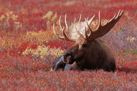 Alces Alces quot N A USA Alaska Denali