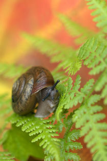 USA,Adirondacks,Snail on Fern in Fall. Credit as von Danita Delimont