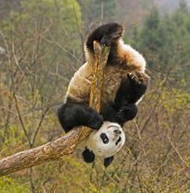 Wolong Panda Reserve, China, 2 1/2 yr old panda upside down on tree snag von Danita Delimont